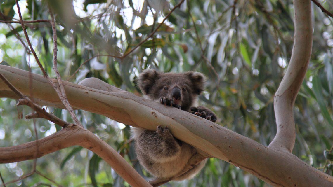 Australie – Sur Kangaroo Island